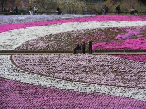 芝桜(2)