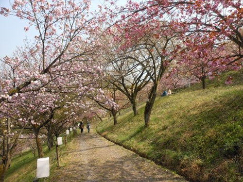 宝登山麓の通り抜け桜