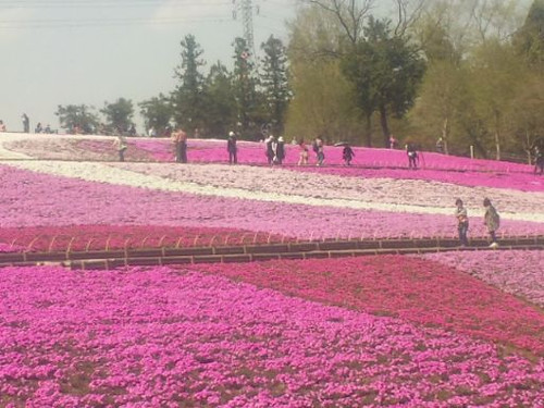 芝桜(1)