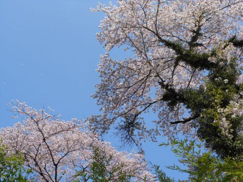 磊々峡の桜